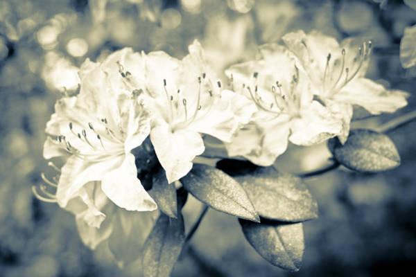 Photograph - Vintage Rhododendron Spring by Priya Ghose