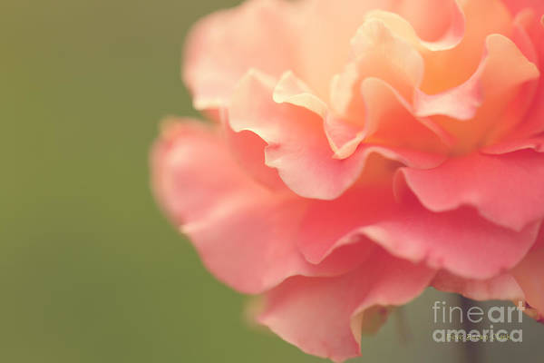 Photograph - Vintage Rose by Beve Brown-Clark Photography