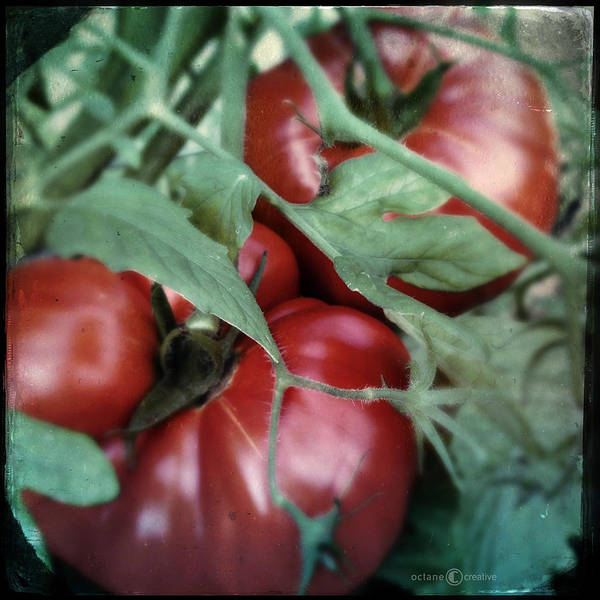 Photograph - Vintage Tomatoes by Tim Nyberg