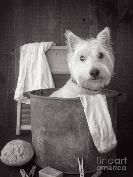 Westie Photograph - Vintage Wash Day by Edward Fielding