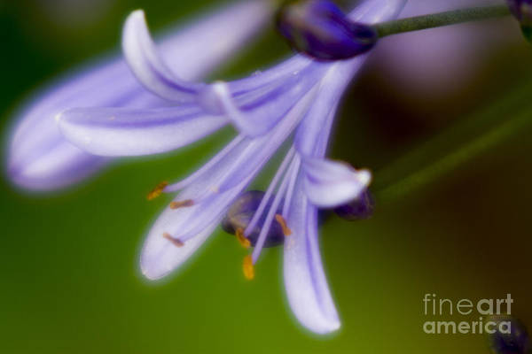 Photograph - Violet-2 by Tad Kanazaki