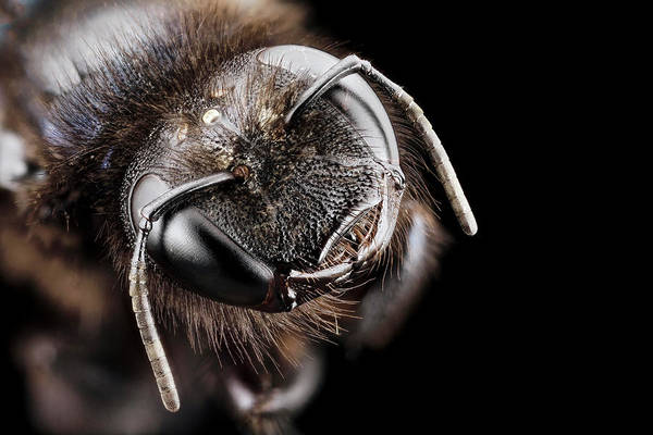 Image Stacking Photograph - Violet Carpenter Bee by Us Geological Survey