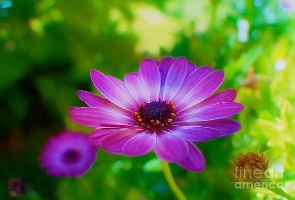 Photograph - Violet Dream by John  Kolenberg