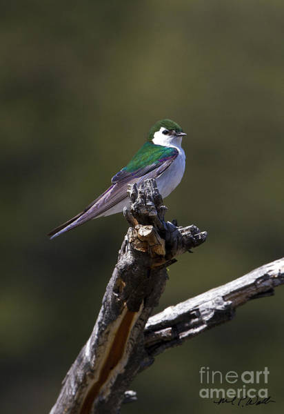 Violet-green Swallow Photograph - Violet Green Swallow 1 by Michael Waller