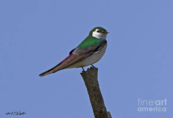 Violet-green Swallow Photograph - Violet Green Swallow 2 by Michael Waller