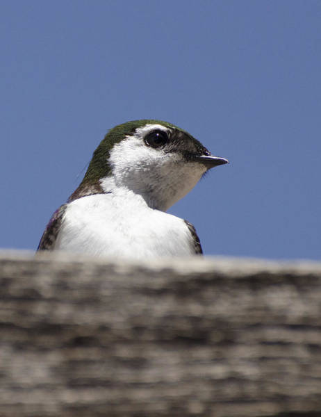 Violet-green Swallow Photograph - Violet-green Swallow by Annie White