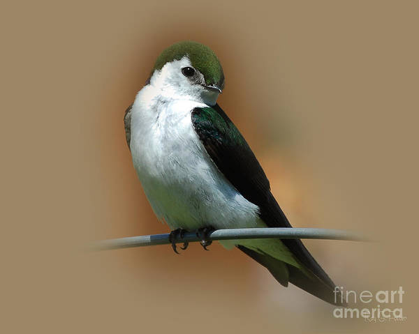 Violet-green Swallow Photograph - Violet-green Swallow   by Ray G Foster