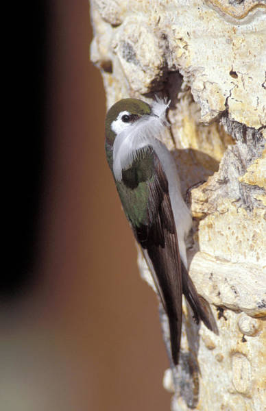 Violet-green Swallow Photograph - Violet-green Swallow by Richard Hansen