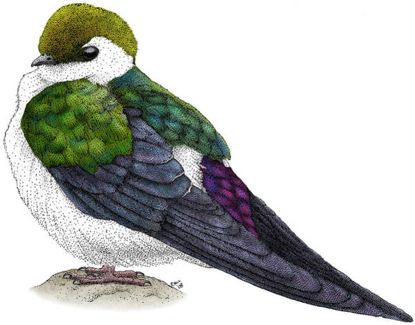 Violet-green Swallow Photograph - Violet-green Swallow by Roger Hall
