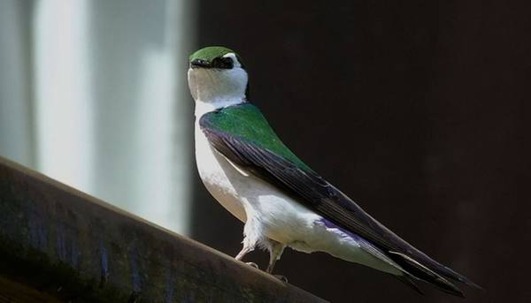 Violet-green Swallow Photograph - Violet Green Swallow by Will LaVigne