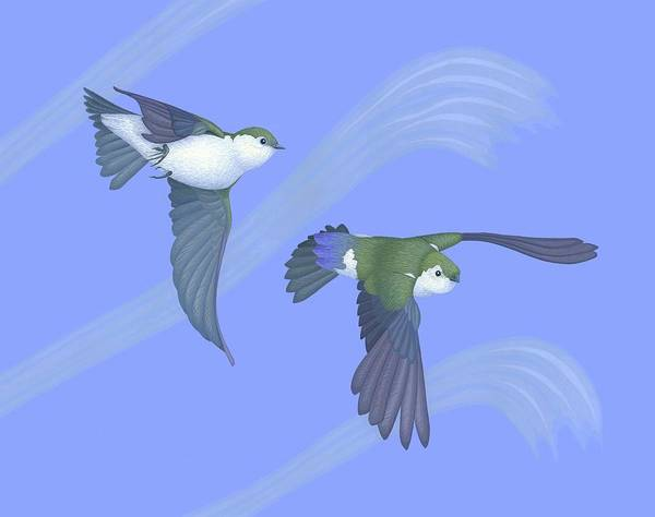 Wall Art - Painting - Violet-green Swallows by Nathan Marcy