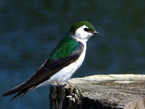 Violet-green Swallow Photograph - Violet Green by Will LaVigne