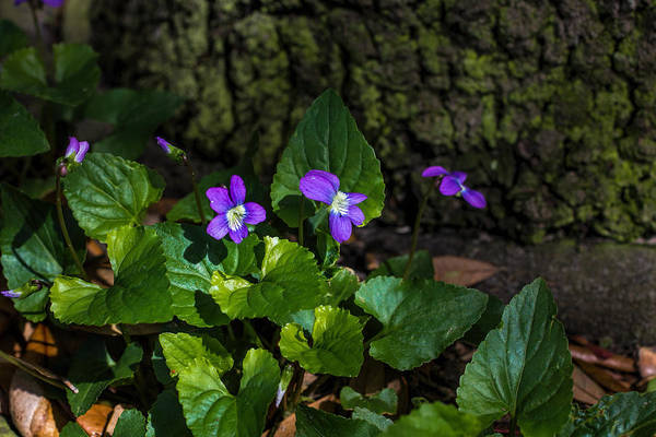 Photograph - Violets by Dorothy Cunningham