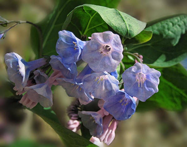 Photograph - Virginia Bluebells 2 by Lara Ellis