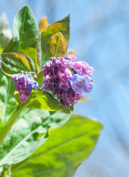 Photograph - Virginia Bluebells 4 by Lara Ellis