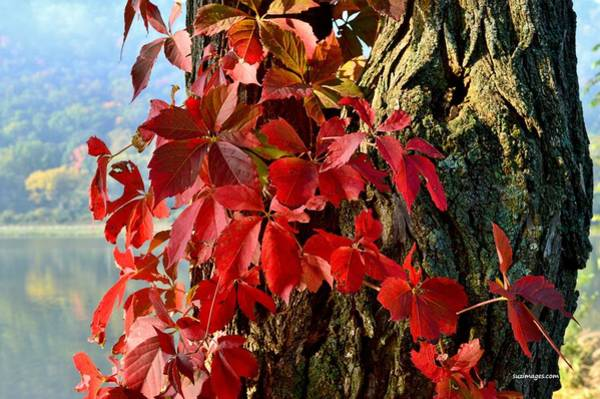 Photograph - Virginia Creeper by Susie Loechler