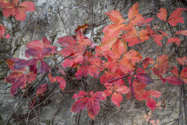 Photograph - Virginia Creeper Turning Red by Steven Schwartzman