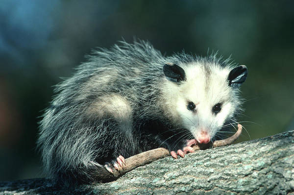 Behavior Photograph - Virginia Opossum (didelphis Virginiana by Richard and Susan Day