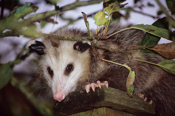 Scavengers Photograph - Virginia Opossum by Donald R Wright/science Photo Library