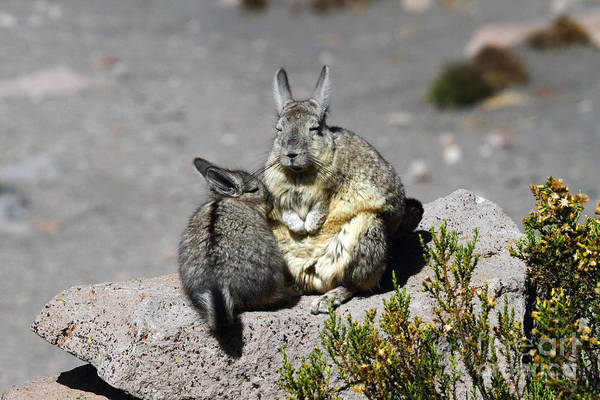Photograph - Viscacha Love by James Brunker