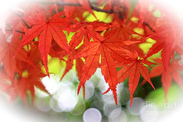 Photograph - Vivid Autumn Maple Leaves With White Bokeh by Beverly Claire Kaiya
