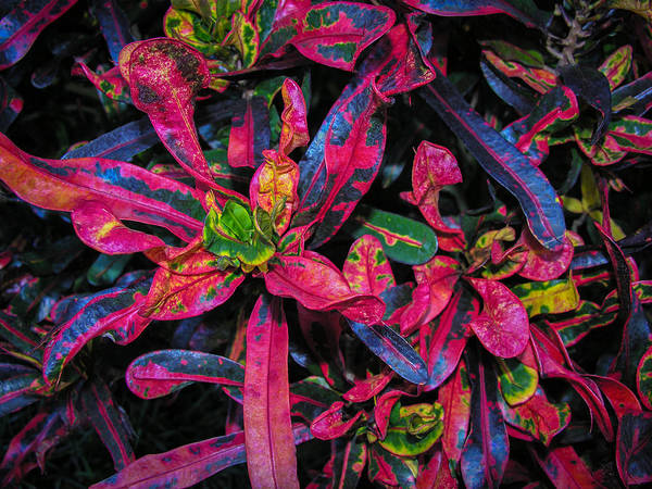 Photograph - Vivid Variegated Croton by Penny Lisowski