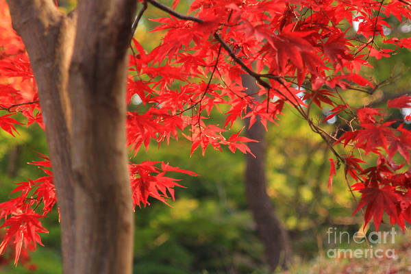Photograph - Vivid Vermillion Maple Leaves In Autumn by Beverly Claire Kaiya