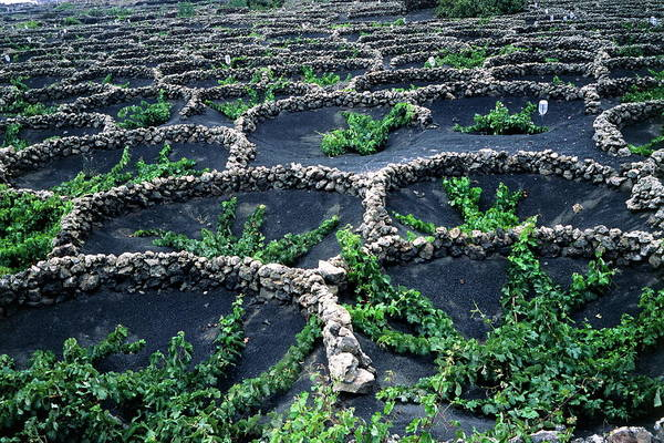 Wall Art - Photograph - Volcanic Vineyard by Steve Taylor/science Photo Library
