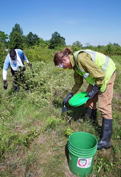 Introduced Species Photograph - Volunteers Removing Buckthorn by Jim West