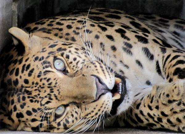 Photograph - Voodoo The Leopard by Keith Stokes