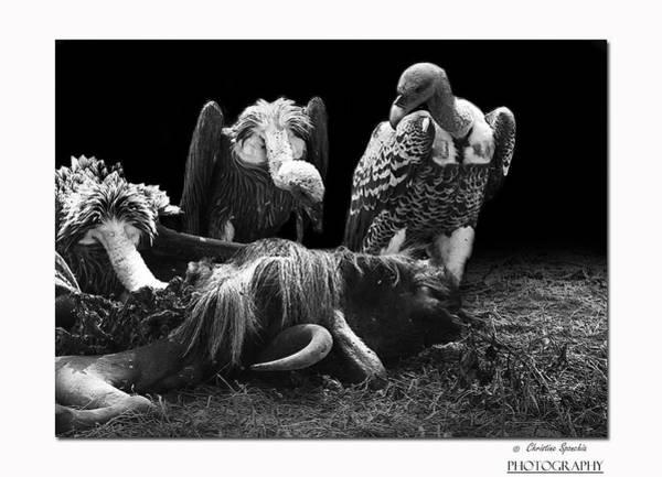 Bull Frog Photograph - Vulture by Christine Sponchia