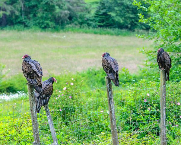 Photograph - Vulture Fence Line Salt Spring Island by Roxy Hurtubise