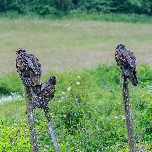 Photograph - Vulture Fence Line 3 by Roxy Hurtubise