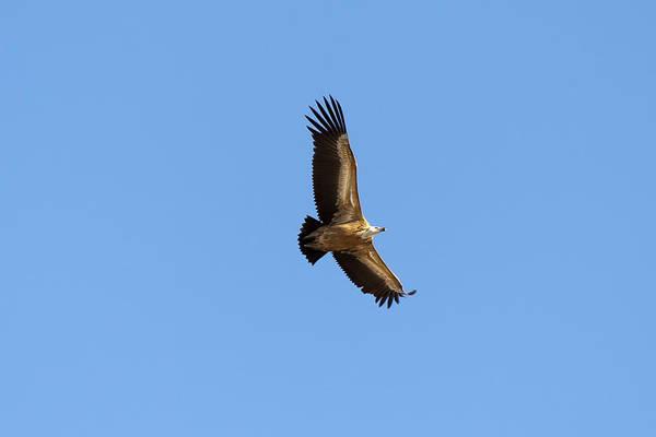 Photograph - Vulture by Goyo Ambrosio