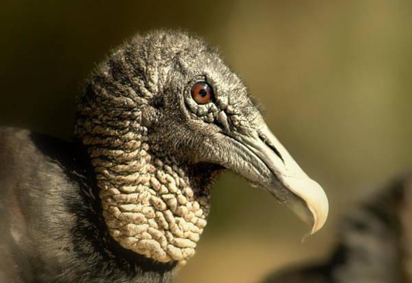 Photograph - vulture II by Jeremiah John McBride