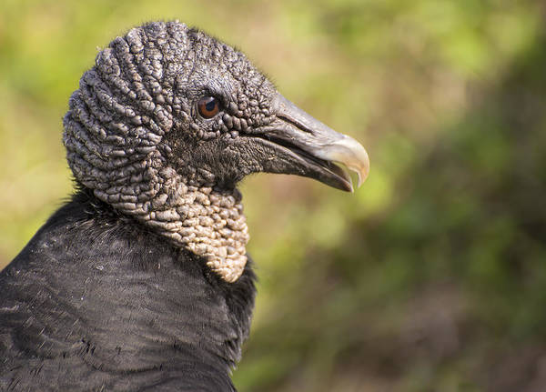 Photograph - Vulture Portrait by Penny Lisowski