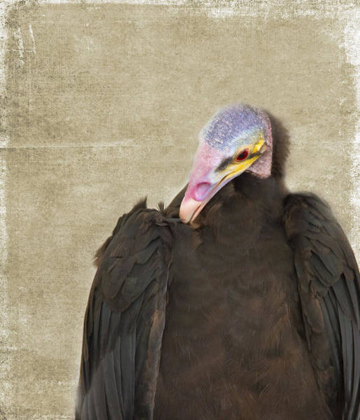 Wall Art - Photograph - Vulture by Rebecca Cozart