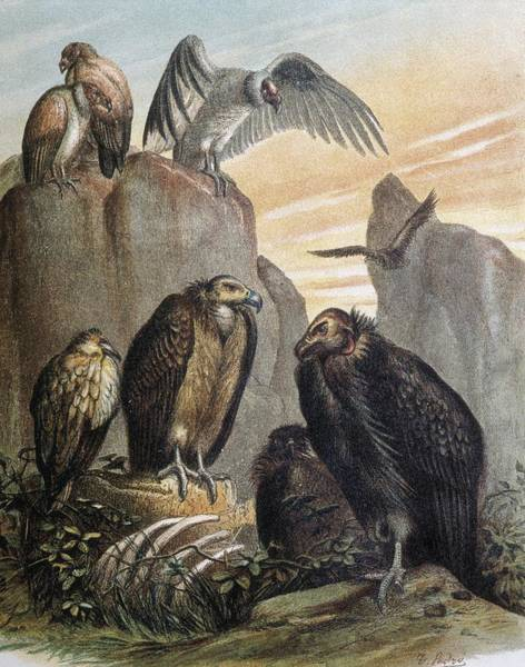 Falconiformes Photograph - Vultures. Engraving After A Drawing by Everett