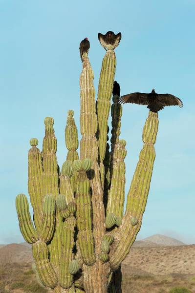 Adapted Photograph - Vultures On A Cactus by Christopher Swann