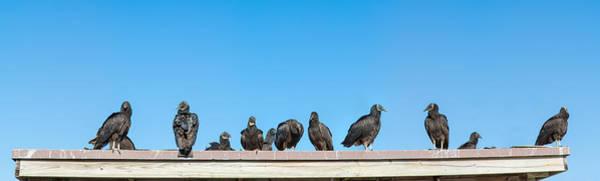 Anhinga Photograph - Vultures On Anhinga Trail, Everglades by Panoramic Images