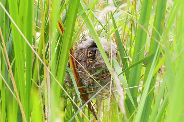 Wren Photograph - Wa, Juanita Bay Wetland, Marsh Wren by Jamie and Judy Wild