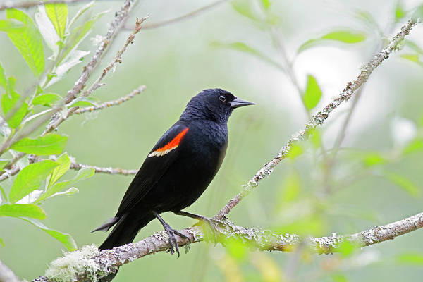 Red-winged Blackbird Wall Art - Photograph - Wa, Juanita Bay Wetland, Red-winged by Jamie and Judy Wild
