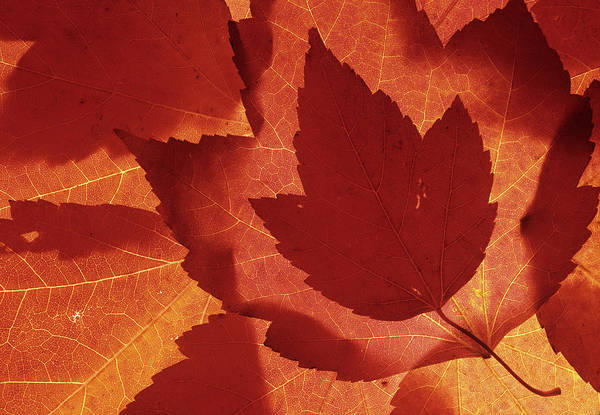 Wa, Redmond, Maple Leaf Collage Art Print