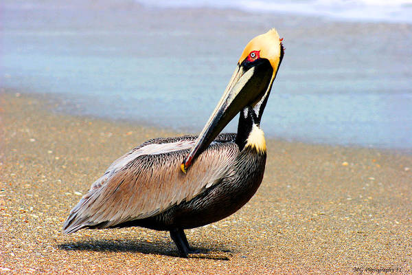 Photograph - Wadding Pelican  by Marty Gayler