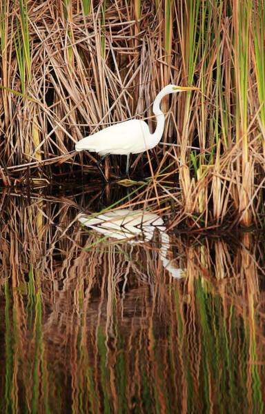 Alligator Alley Photograph - Wading Egret by Gary Ezell