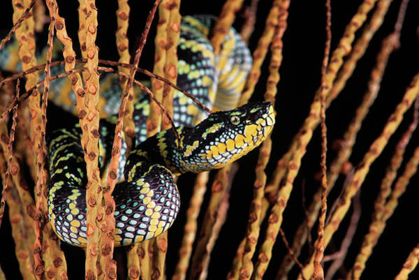 Different Animals Photograph - Waglers Pit Viper Or Temple Viper by Animal Images