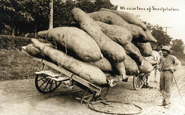 Photograph - Wagon Of Giant Sweet Potatoes by Underwood Archives