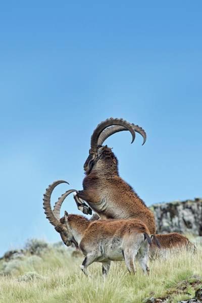Ibex Wall Art - Photograph - Wahlia Ibex Fighting by Tony Camacho