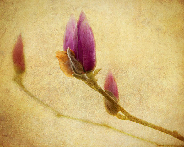 Photograph - Waiting To Bloom by Jeff Mize
