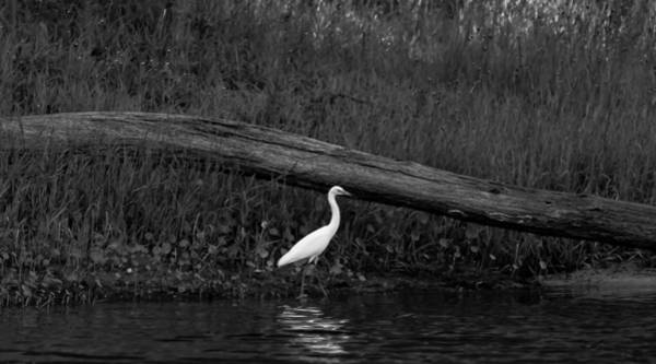 Photograph - Walk Of The Heron by Kim Henderson